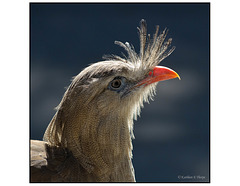 Red Legged Seriema 001