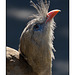 Red Legged Seriema 002