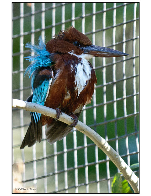 Blue Breasted Kingfisher with Ruffled Feathers