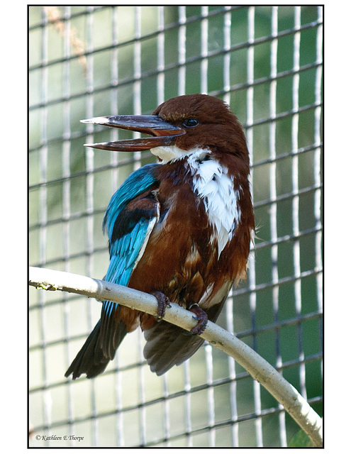 Blue Breasted Kingfisher Profile