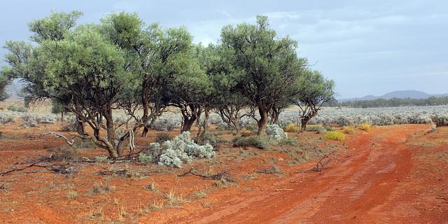 Alectryon oleifolius ssp. canescens (Bullock Bush) grove