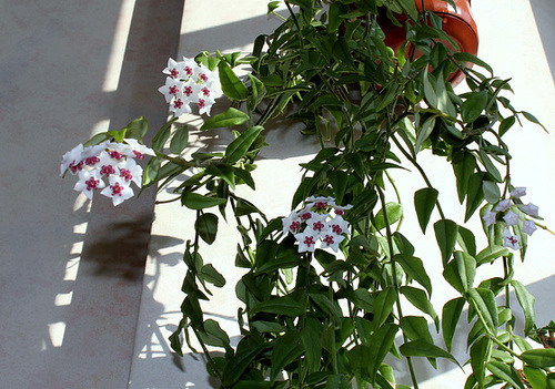 Hoya lanceolata - bella (3)
