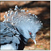 Victoria Crowned Pigeon head shot