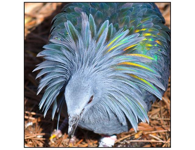 Nicobar Pigeon head shot