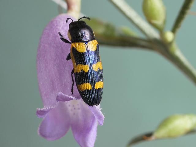Castiarina cf. browningi, PL2371