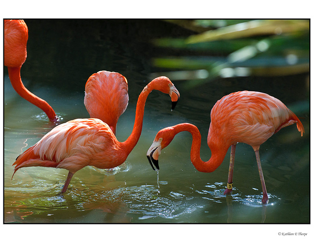 Flamingo Fraternity