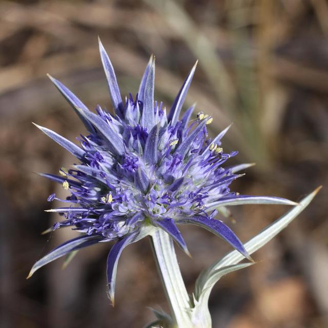 Eryngium ovinum (Blue Devil)