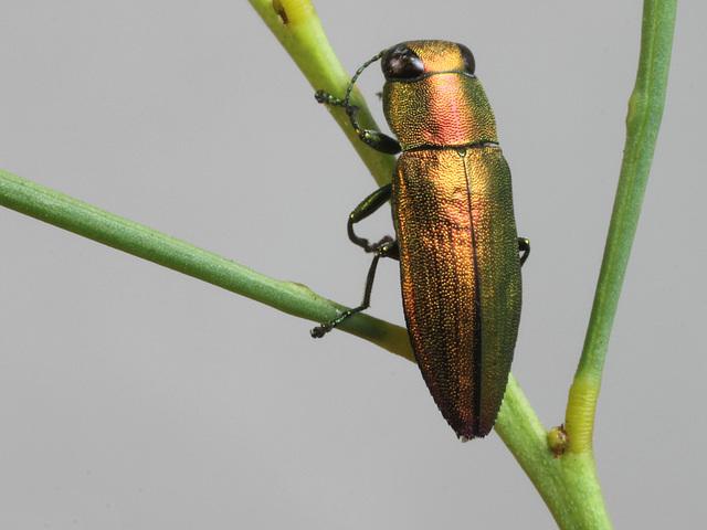 Melobasis simplex, PL2342