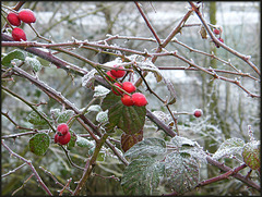 winter rosehips