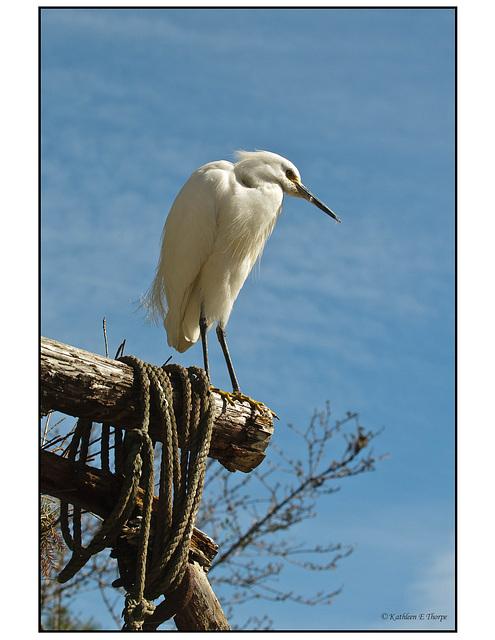 White Heron on Perch