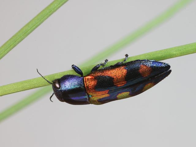 Melobasis gratiosissima speciosa, PL2348