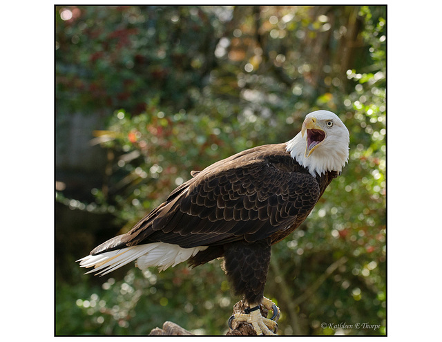 Bald Eagle on Perch 3