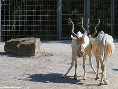 Mendesantilopen (Wilhelma)