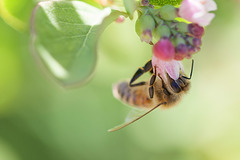 Bee in Snowberry Flower