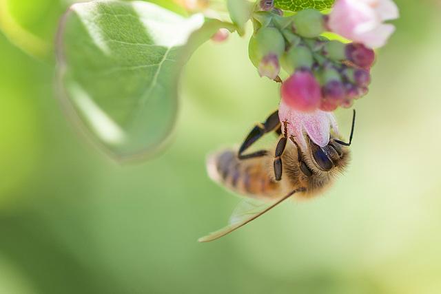 Bee in Snowberry Flower