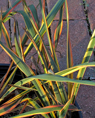 Variegated Yucca