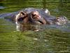 Hippo at Werribee Zoo