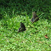 Butterflies... Spicebush Swallowtails