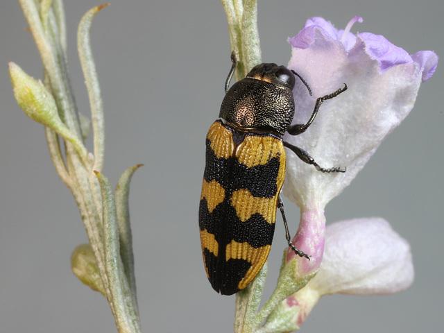Castiarina macarthuri, PL2335