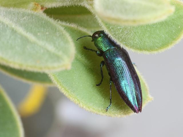 Melobasis obscurella, PL2324C