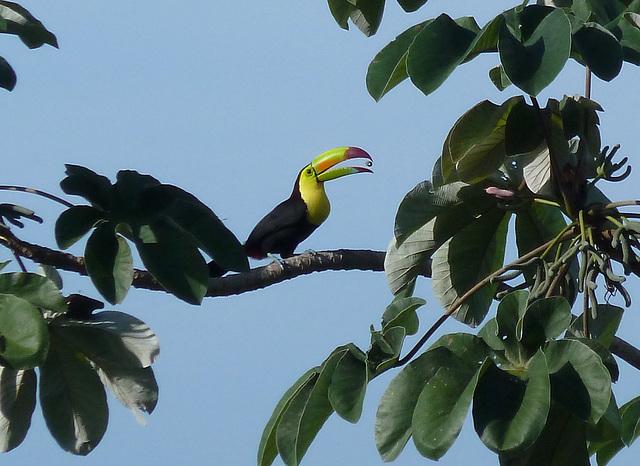 A toucan's breakfast