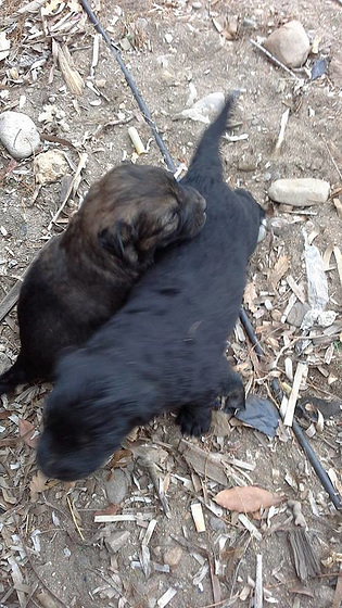 One of the black pups with the brindle pup