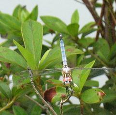 Dragonfly .. Blue Dasher
