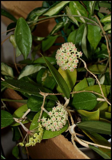 Hoya sp.affinis parasitica