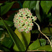 Hoya sp.affinis parasitica (3)