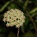 Hoya sp.affinis parasitica (6)