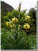 Pied de Lilium pyrenaicum