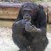 Schimpansenmann Henry (Zoo Heidelberg)