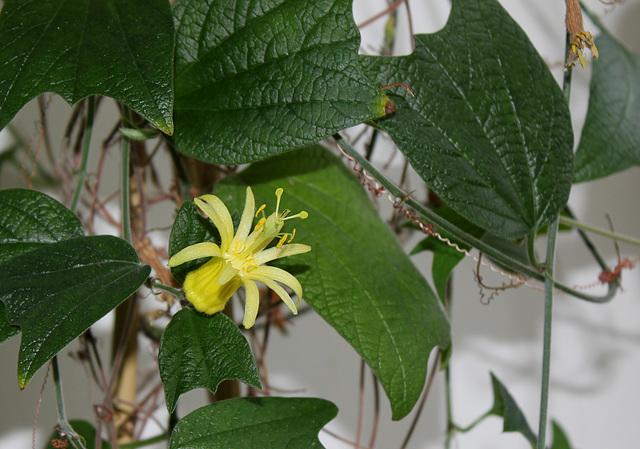 Passiflora citrina  (2)