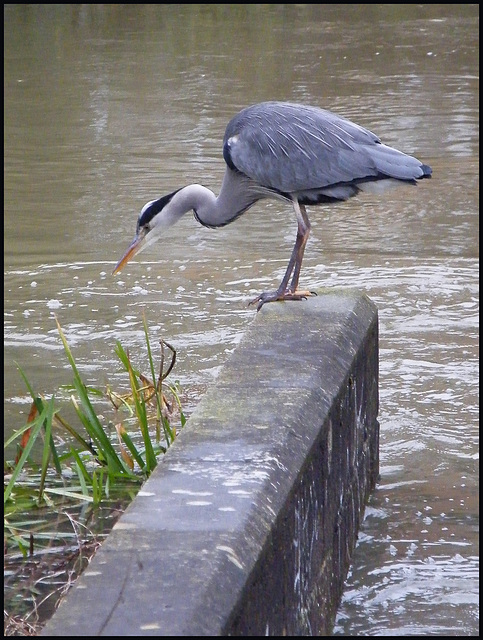 heron at the weir