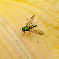 Iridescent green fly on daylily
