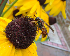 Wasp on Gloriosa Daisy