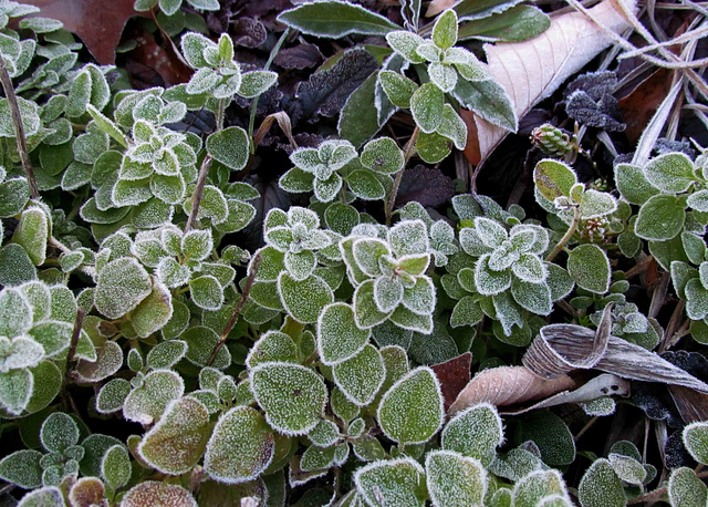Frost on Oregano