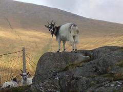 wild - goat close up