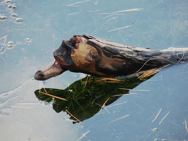 Wooden Duck?