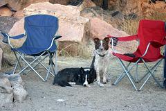My Camp Dogs