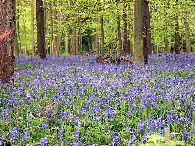 """Bluebells in """"The Bounce""""."""