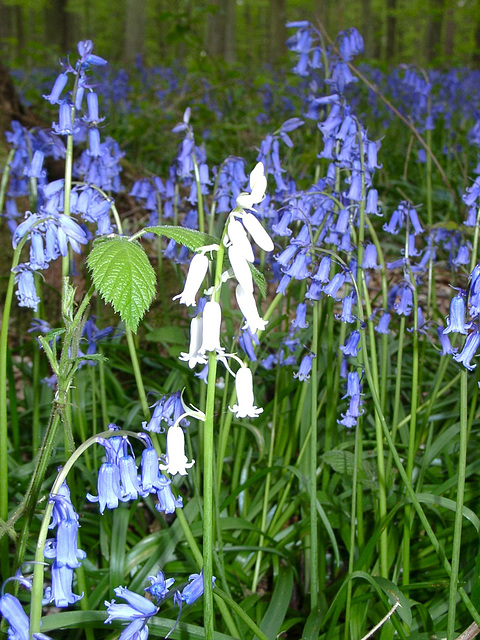 "White bluebell in ""The Bounce""."