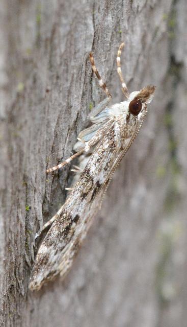 Moth.Crambidea sp,Scoparia ambigulais