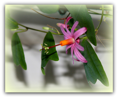 Passiflora tulae (4)