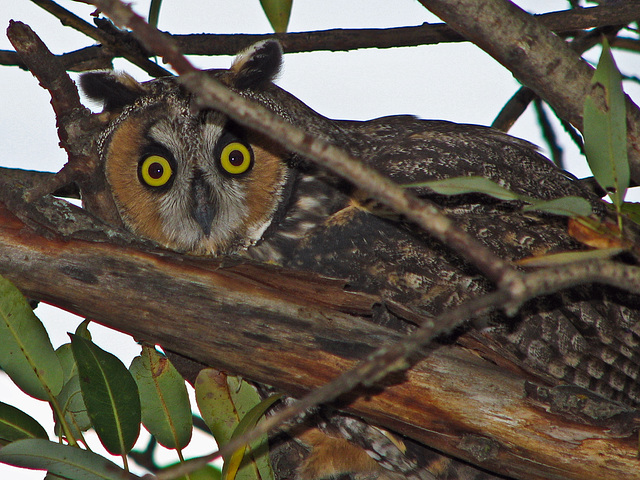 My very first Long-eared Owl, October 2006