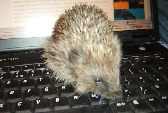 hedgepigs - a tiny one