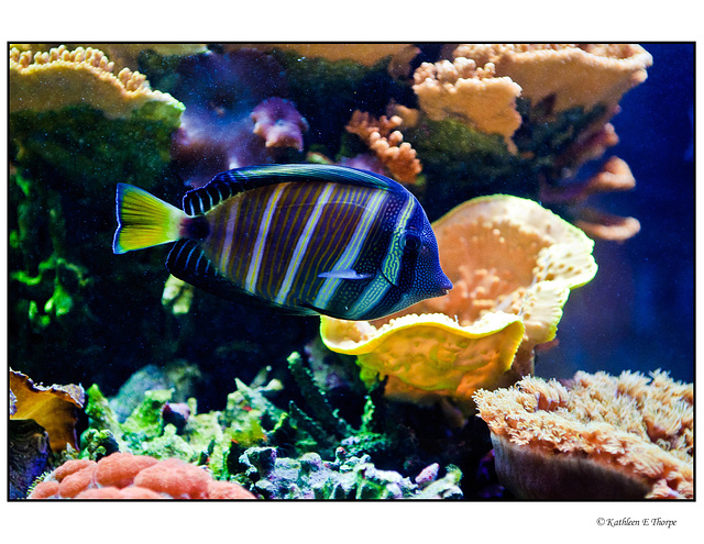 Pacific Reef Blue Fish