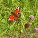 oaw - Peacock butterfly