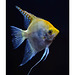 Angel Fish solo