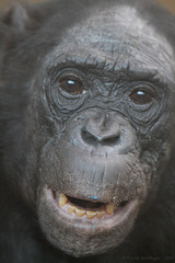 Bonobo-Matriarchin Kombote (Wilhelma)